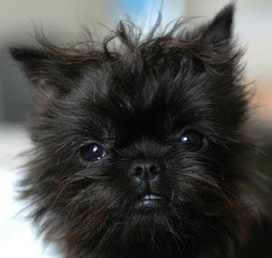 Affenpinscher Puppies For Sale Power Pet