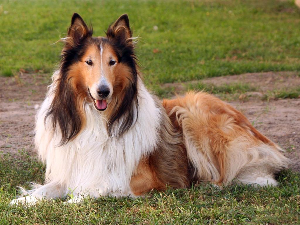 Resultado de imagen para lassie perra